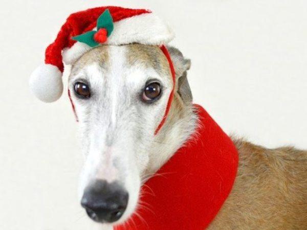 Santa Greyhound