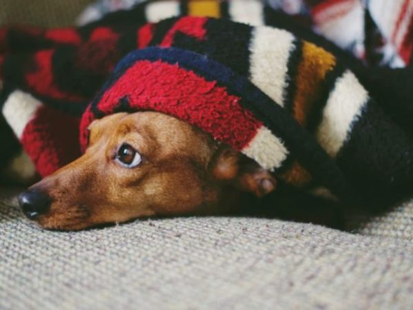 winter pet diet, cold weather, winter tips, pet diet, ontario spca, dog under blanket