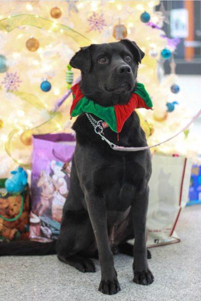 loving home, iAdopt for the Holidays, adopt a shelter dog, black lab