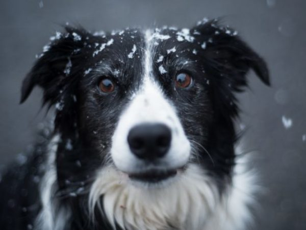 cold weather pet safety tips, dog with snow, dog looking at camera