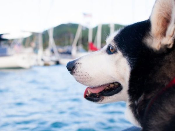 pet travel safety, husky, dog and boats