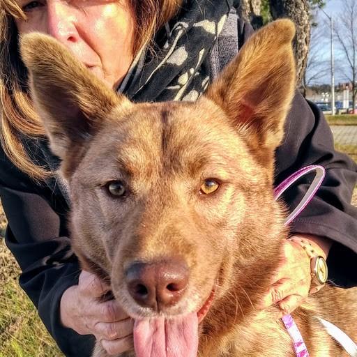 Hazel, northern dog, northern transfer