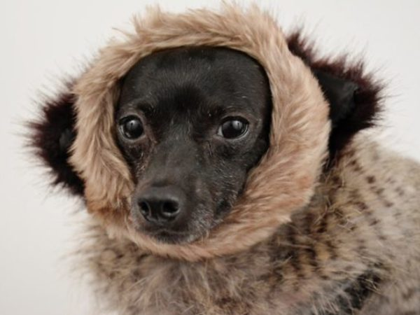 dog in coat, pet fashion accessories, cold weather safety