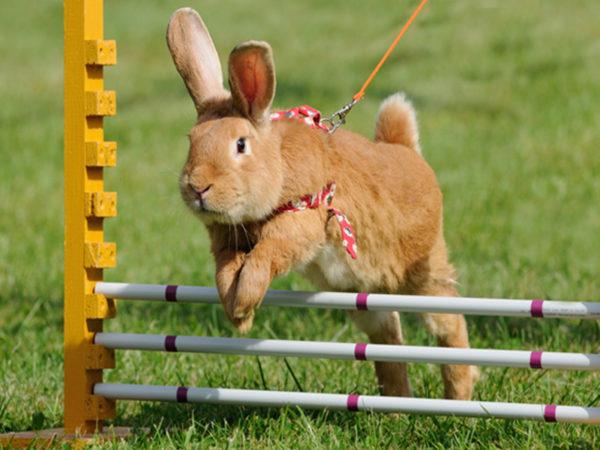 bunny-agility-shelter-health-pro