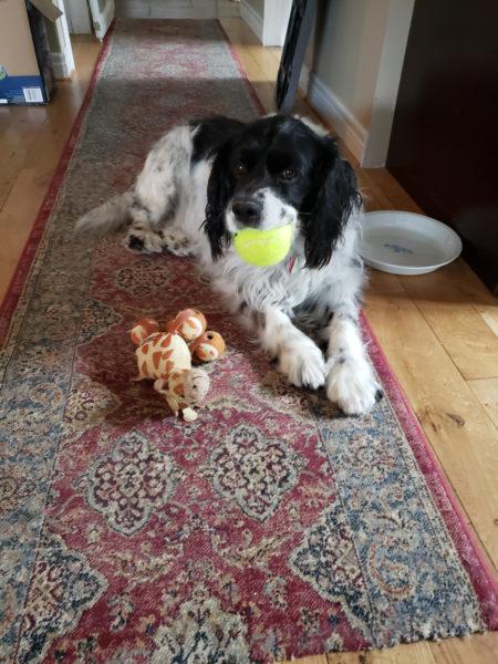 Nigel, quebec shelter, homeless dog
