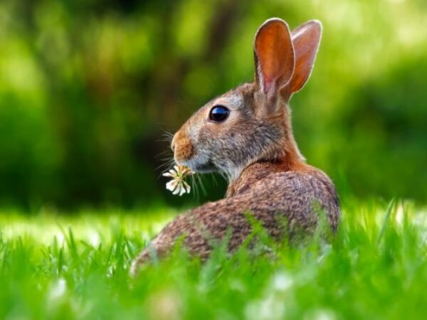 rabbit eating grass, protecting lawns from wildlife, garden