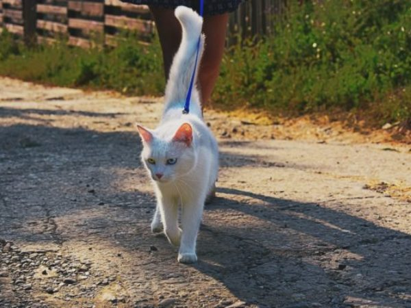 teach your cat to walk on a leash, cat training, cat on leash