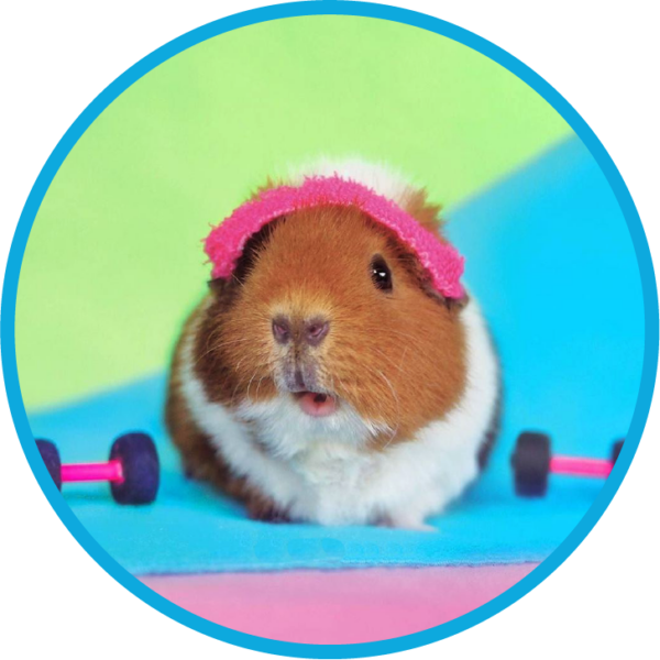 guinea craig, guinea pigs, sweat for pets