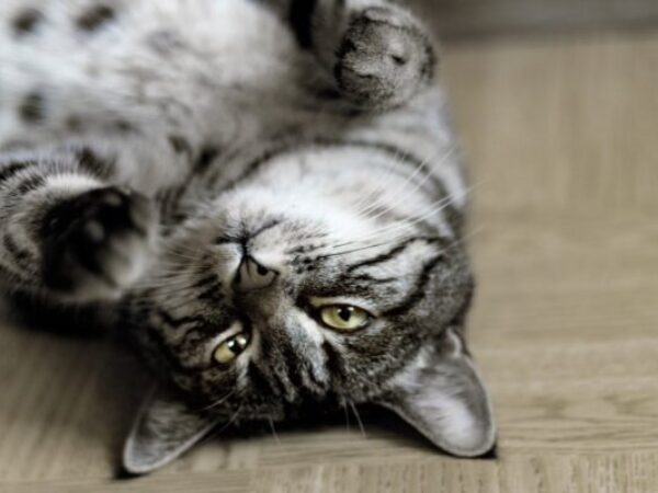 indoor cat, indoor cats, royal canin, cat care tips