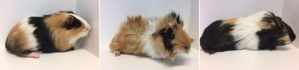 guinea pigs, guinea pig