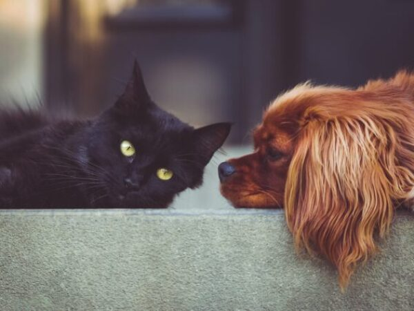 cat to dog introductions, cats and dogs, adoption tips