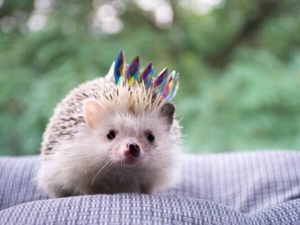 socialization, small animals, hedgehog