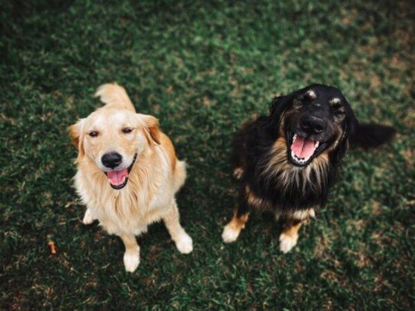 dog-to-dog introductions, adoption tips