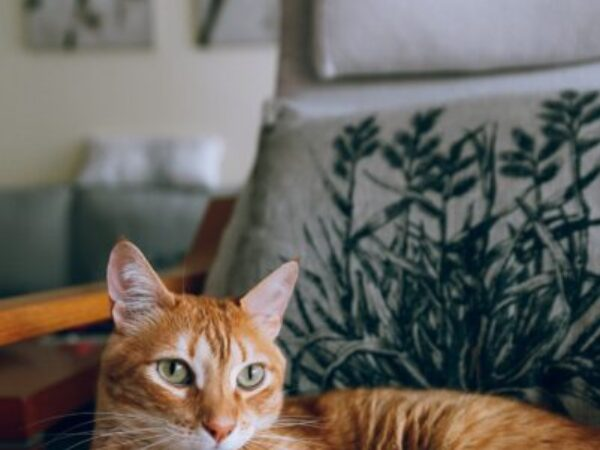 emergency care for pets, emergency care tips, orange tabby cat