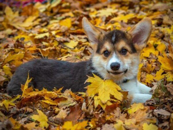 fall season, fall safety, dog in fall leav