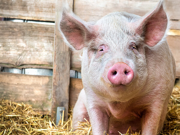 suffering of pigs, pig advocacy, speak up for pigs