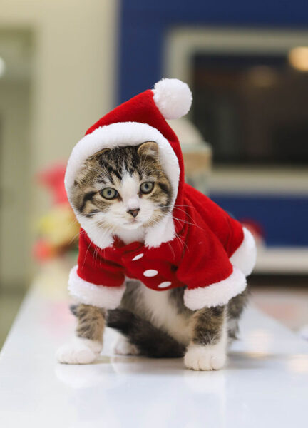 iadopt for the holidays, kitten