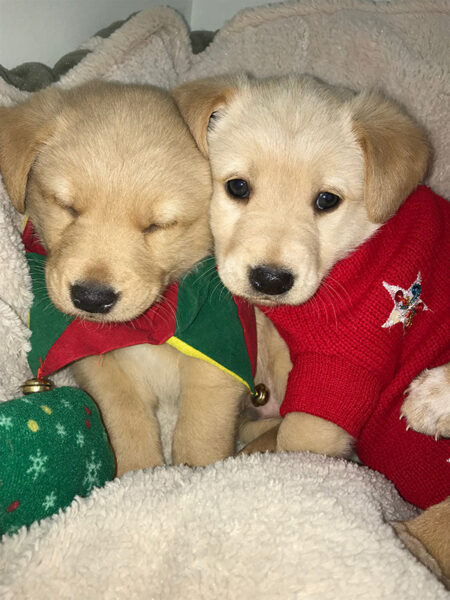 iadopt for the holidays, puppies