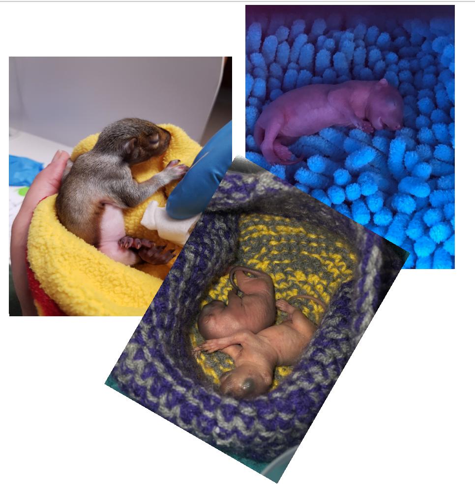 baby squirrels, shades of hope, baby wildlife