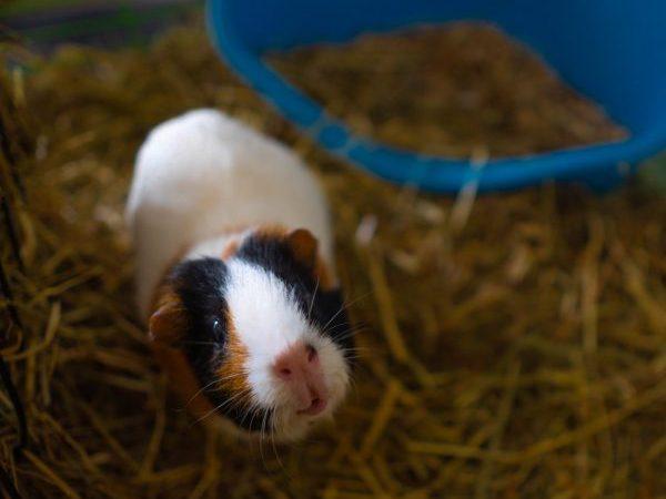 guinea pig, bond with your guinea pig, guinea pig