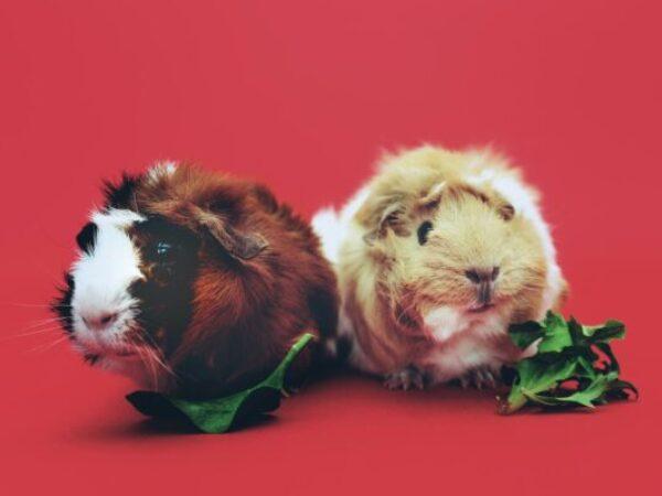 guinea pigs, treats small animals, small animals