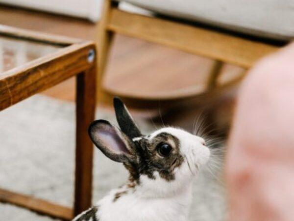 rabbits make great companions, rabbits, ontario spca